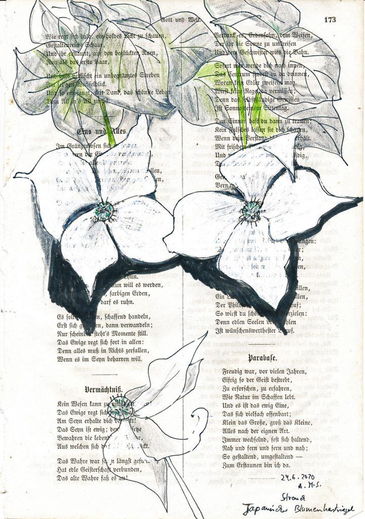 """Anne Messmer-Steinmann, """"Pflanzentrost"""", Japanischer Hartriegel aus der Serie """"Pflanzentrost"""", Zeichnung (Tusche, Buntstift, Grafit, auf alter Buchseite), 20 x 30 cm, 180 € inkl. Rahmen"""